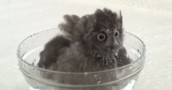 reminds you of totoro? this little owl's bath and drying leave it so