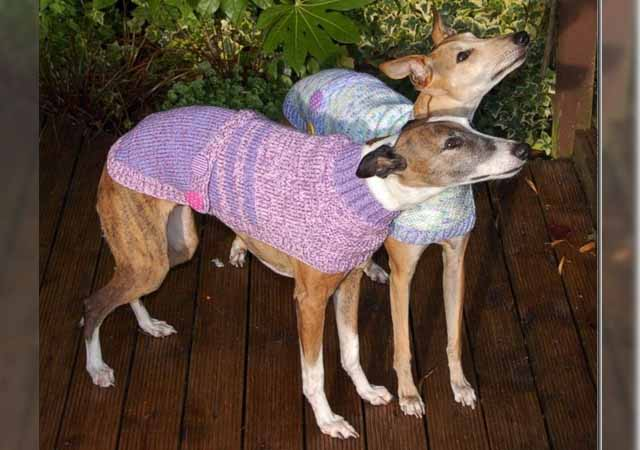 Knitting Patterns For Greyhound Dogs : This Woman Quit Her Job To Knit Sweaters For Abandoned Greyhounds   grape