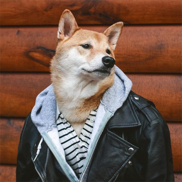 Shiba Inu Has A Fashion Sense That Puts Most Humans To