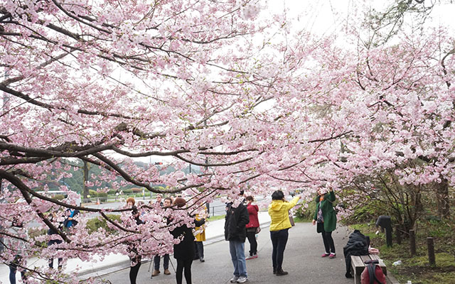 Chidorigafuchi Is The Place To Be For A Breathtaking Stroll Under ...