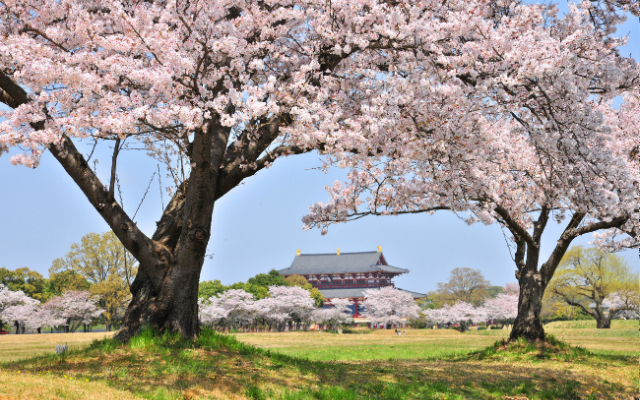 Cherry blossoms in bloom at Nara