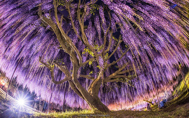 Where To Enjoy Enchanting Wisteria Flower Festivals In Japan This