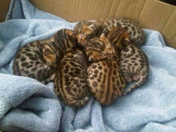 Cute Baby Cheetah Cubs additionally Animals Jaguars 576f additionally 135952482471361809 further Baby Jaguars Are Named at the Zoo further 321303754635833109. on newborn jaguar cubs
