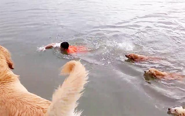 何匹いるの!?飼い主さんを追いかけて泳ぐゴールデンレトリバーたちが多すぎ♡