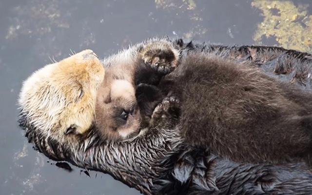 野生のラッコが水族館で出産 圧倒的な可愛さを放つ Grape グレイプ