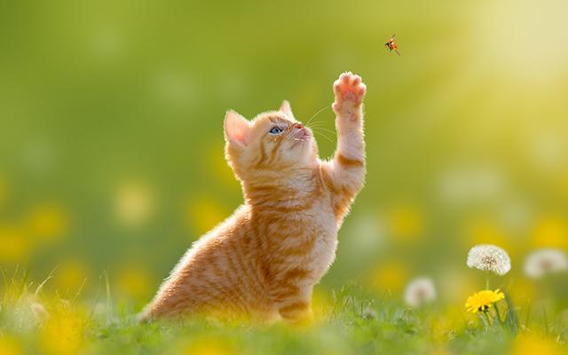 Junge Katze/Ktzchen jagd einen Marienkfer