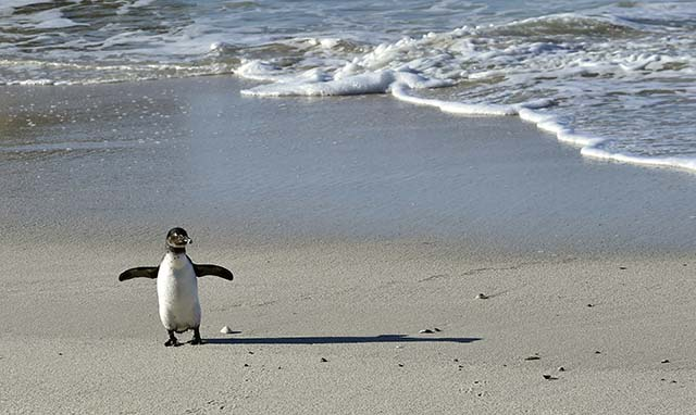 African penguin (spheniscus demersus) and shadow