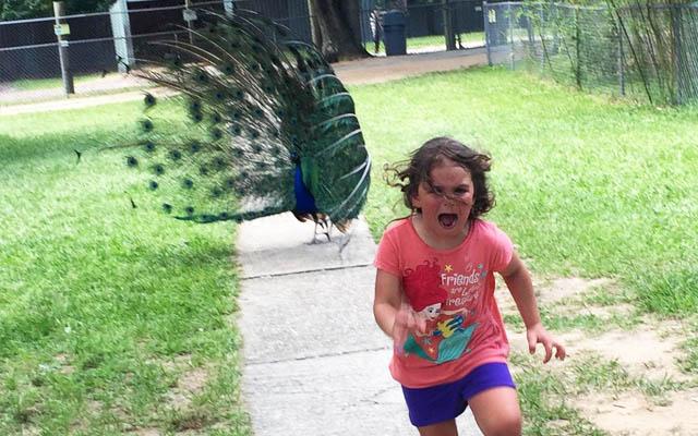 コラージュ祭り】クジャクから逃げる少女、あまりの疾走感がネタに ...