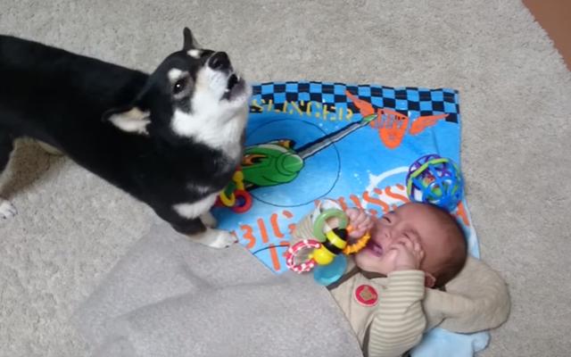 赤ちゃんが泣いてる! 黒柴、がんばってあやすよ~