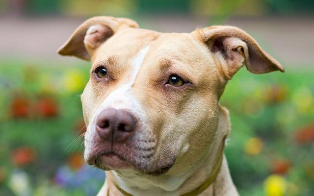 数千匹のピットブル犬が殺処分決定\u2026!世界中で反対の署名活動が開始