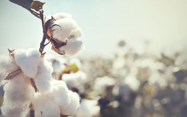 「コットン 農家 農薬」の画像検索結果