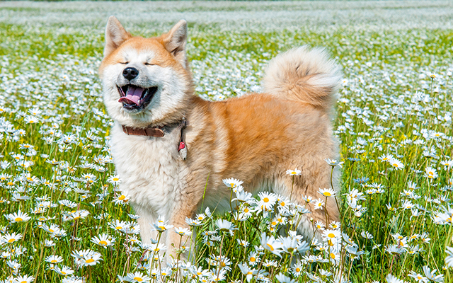お花畑の中の秋田犬