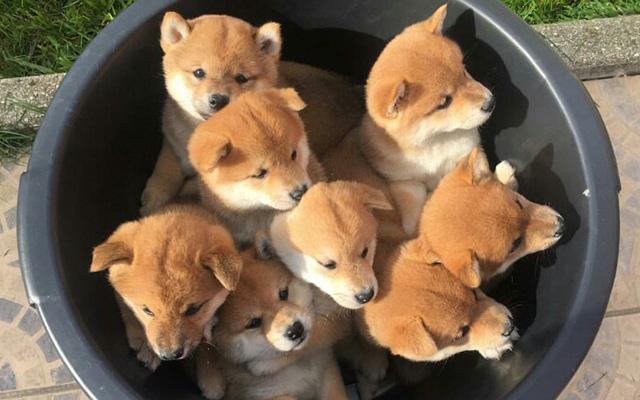 Resultado de imagen para 柴犬