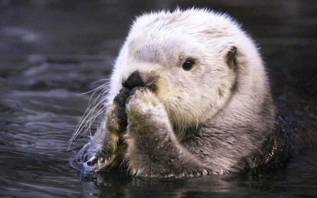 あぼくの肉球見ます水族館で撮れたラッコの写真が超可愛いッ