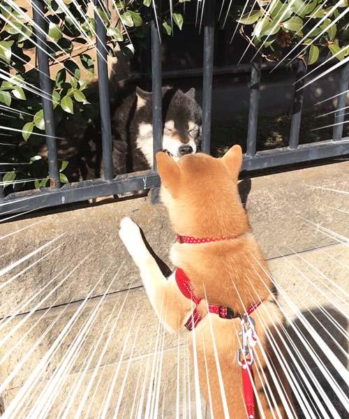 柴犬 ゆめ