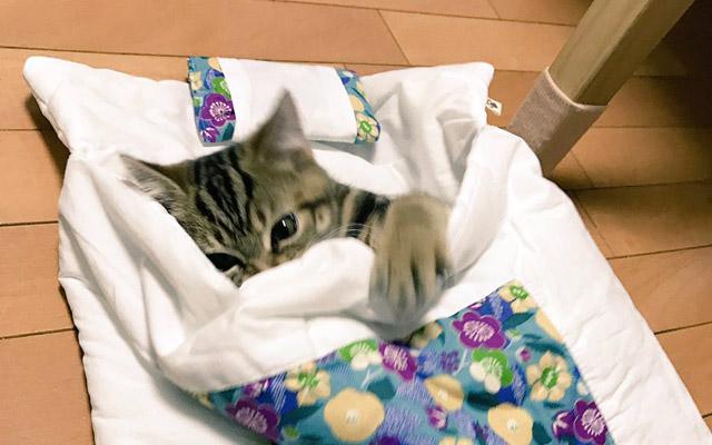 『猫用の布団』を買った飼い主さん マンチカンが使用したら、破壊力抜群だった!
