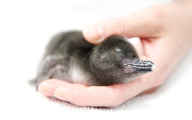 手のひらサイズのこの子は、2017年3月10日(金)に、マゼランペンギンの『カクテル』が産卵しました。その後、飼育スタッフが見守る中、4月19日(水)