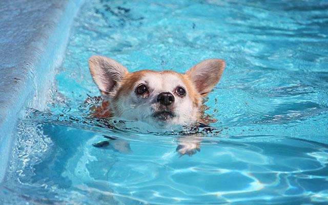 モフモフのコーギーが泳ぐと、水中で何が起きるか 「ここは天国 ...