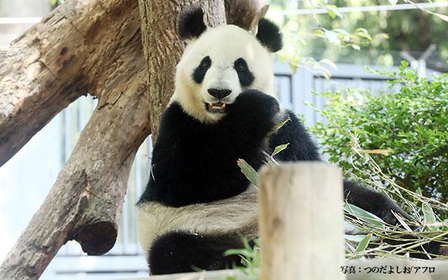 パンダのシンシンが出産 おめでたいニュースに盛り上がる人々 – grape ...
