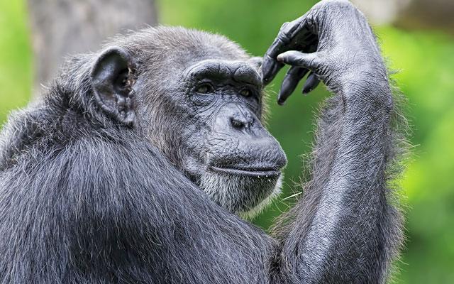 チンパンジーの画像 p1_38