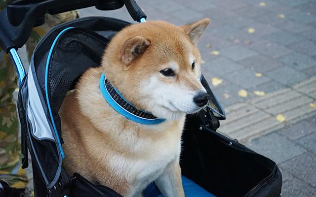 国内外から大人気のアイドル犬・柴犬まるがやってきた