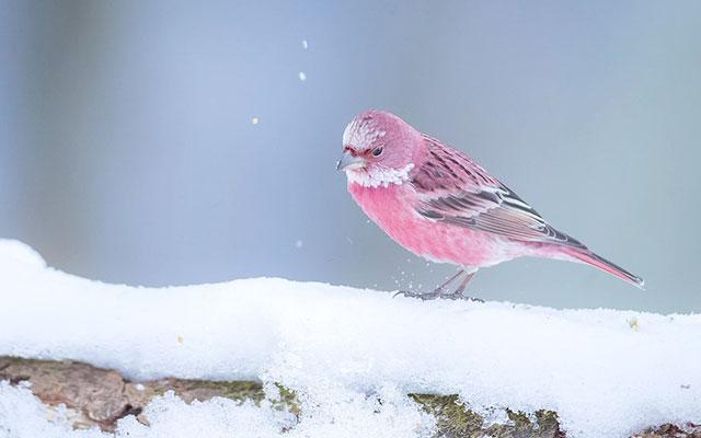 初見で目を奪われた」雪の中に咲くバラのような鳥に息を飲む – grape ...