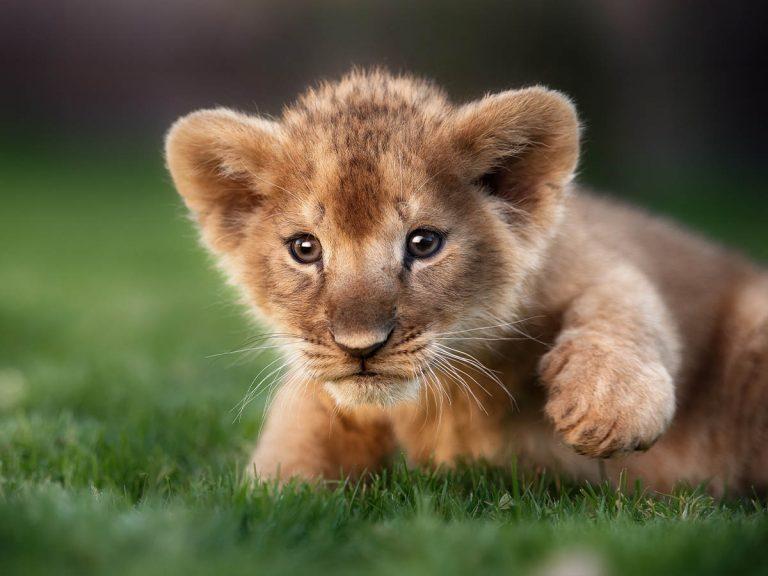 魚のぬいぐるみと激闘を演じたライオンの赤ちゃん 「可愛すぎる