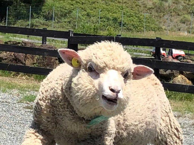 マッチョにしか見えない羊 体を見ると「呪いにかかってしまった」の声 ...