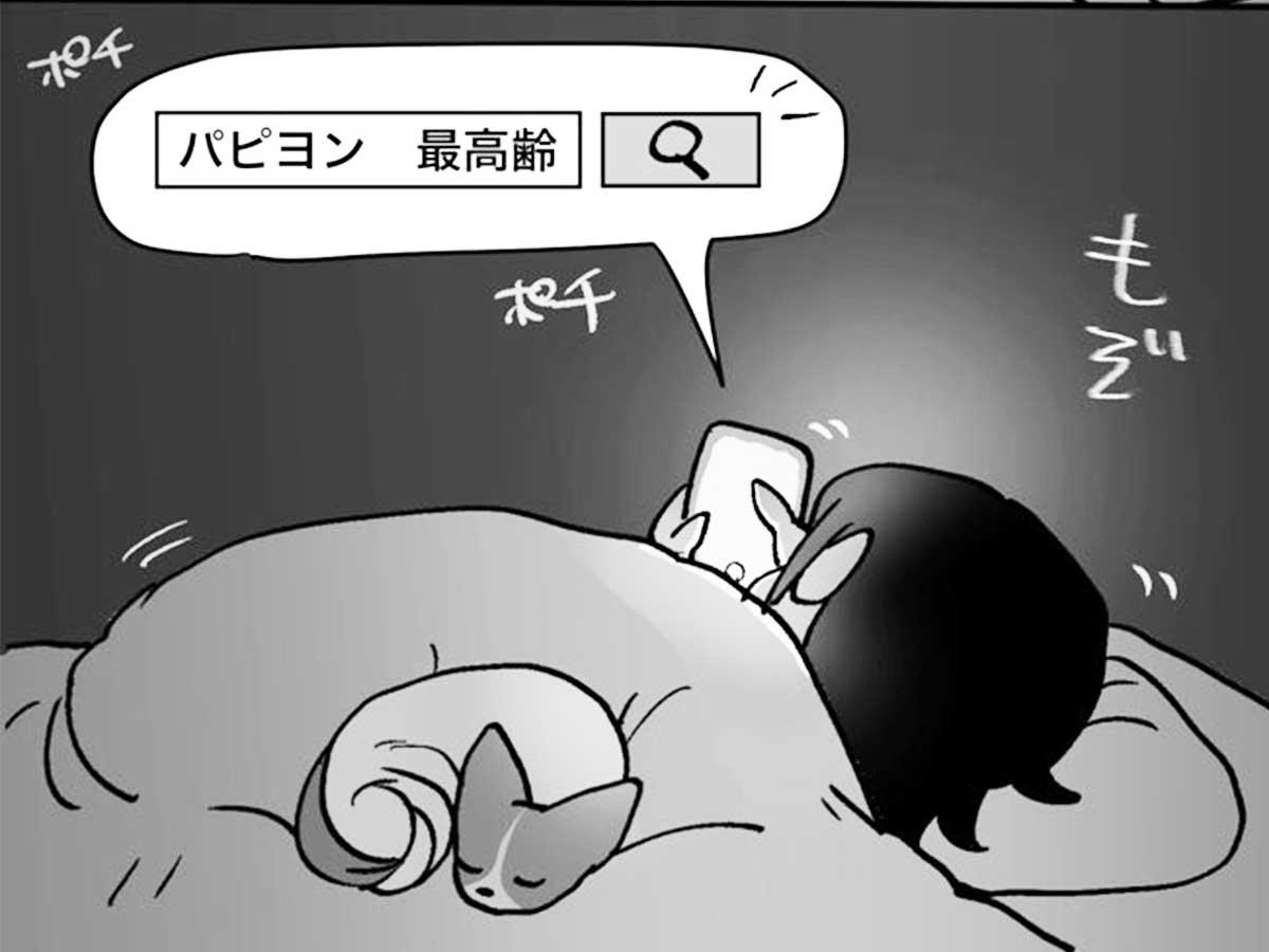 高齢 パピヨン 最