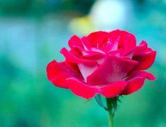 10月の誕生花はバラ、コスモス、ガーベラ 花言葉に気を付けなければいけないのは?