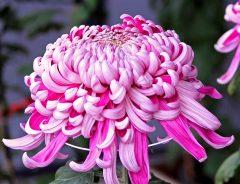 1月の誕生花は菊やガーベラなど4種類! それぞれの花言葉や贈らない方がいい花は?