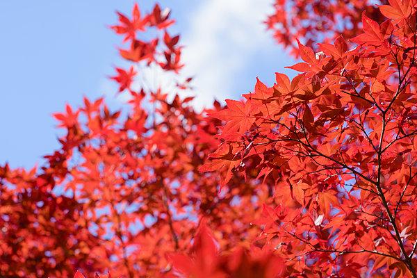 紅葉は赤い色素アントシアンの増加によって起こる
