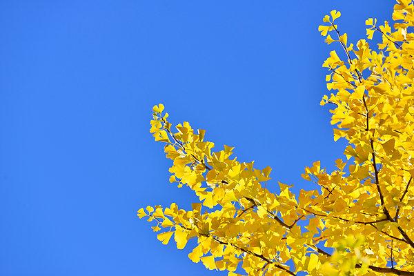 黄色い色素カロテノイドが黄葉を引き起こす