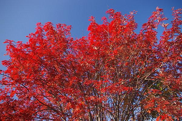 葉も実も赤くなるナナカマド。一足早い紅葉が、青い空に映えて美しい。