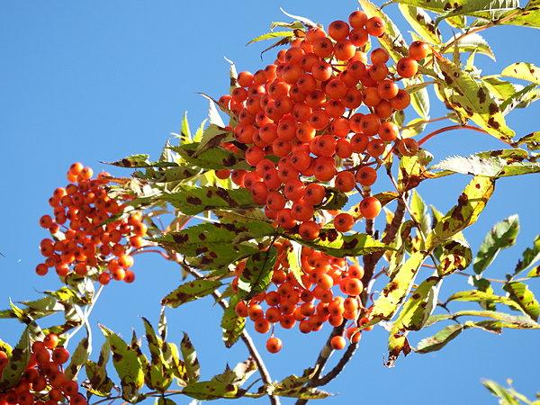 葉が緑のときから赤く色づく実。やがて葉も赤くなり、全体が真っ赤になる。