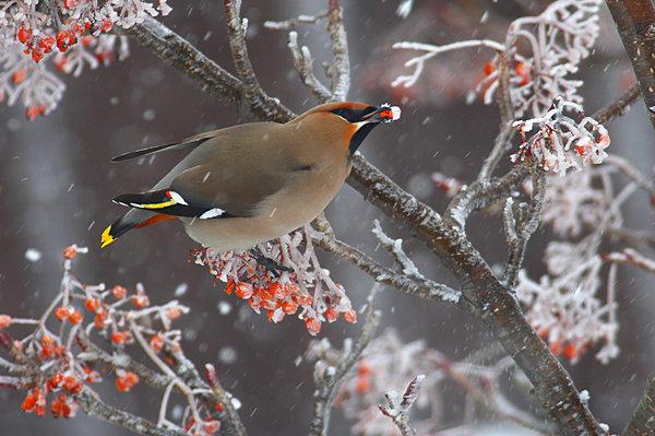 赤い実をほおばるキレンジャク。4~5年に1度、群れで渡来する不定期な冬鳥。